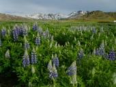 Island 2008 Sommer 021